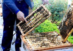 Trai trại khai thác sữa ong chúa Tam Đảo