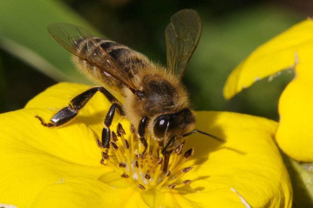 Những điều chưa biết về nọc ong - Mật ong Tam Đảo