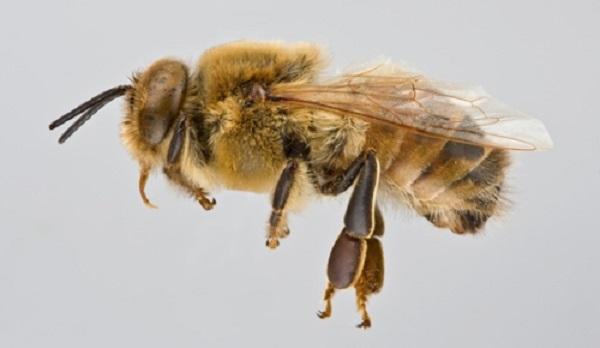ong đực
