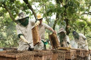Thu hoạch mật ong Trang Trại Ong Tam Đảo