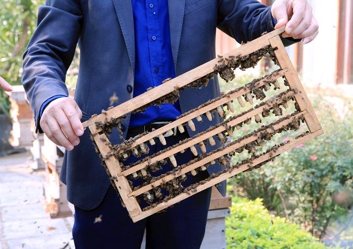 Ấu trùng ong chúa có lợi cho sức khỏe