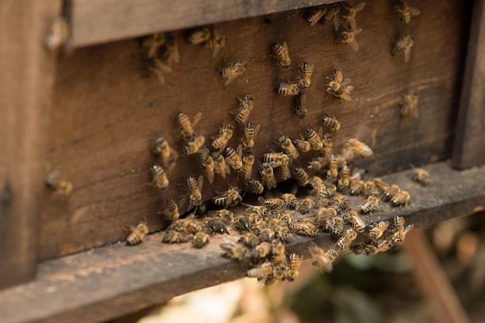 Ong mật là gì, ong mật về tổ